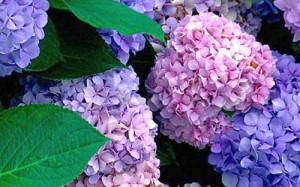 Hortenzie, květiny s modrými květy