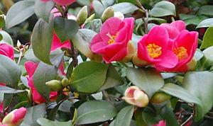 Kamélie, zimní spánek u pokojových květin