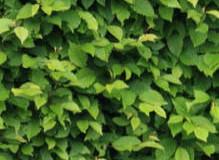 Rostliny pro živý plot