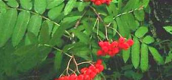 Jeřáb – plody zvané jeřabiny
