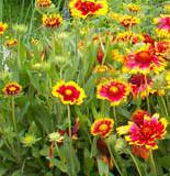 Kokarda – žlutočervená květina