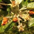 Květopas jabloňový
