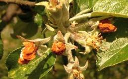 Protrhávání plodů jabloní