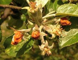 Květopas jabloňový, poškozené květy