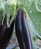 Lilek – tipy a triky pro pěstování a vaření