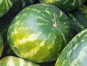 Pěstování melounu vodního