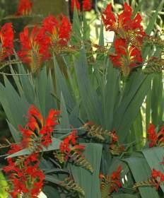 Montbrécie, hlíznaté květiny