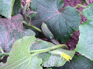 Pěstování salátovek a nakládaček