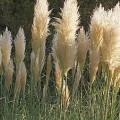 Okrasné trávy - pampas