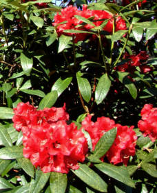 Rododendron, pěstování