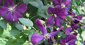 Rostliny pro treláže