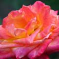 Přezimování růží