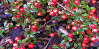 Okrasné dřeviny na podzim – ozdobné plody