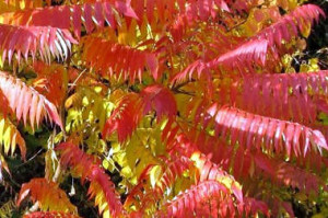 Škumpa, barevné listí na podzim