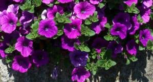 Petúnie – oblíbené balkonové květiny