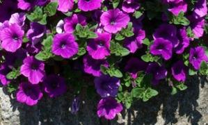 Surfinie, květiny do truhlíků