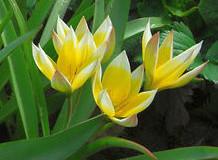 Rychlení tulipánů