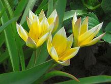 Tulipán pozdní, pěstování