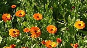 Letnička měsíček lékařský (Calendula officinalis) a jeho pěstování