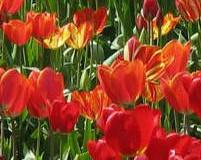 Sázení tulipánů