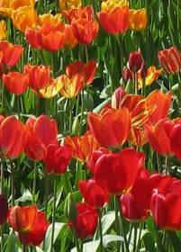Tulipány, tipy na pěstování