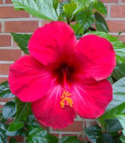 Ibišek, pokojová květina