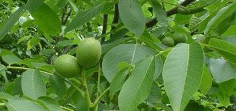 Ořechy – choroby a škůdci, sklizeň a uskladnění