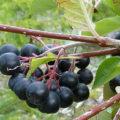 Aronie černá, pěstování
