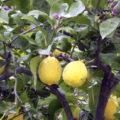 Pěstování citrusů