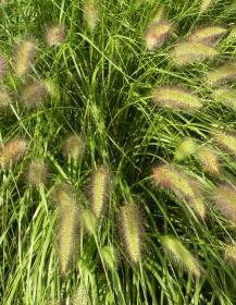 Dochan psárkovitý, okrasná tráva
