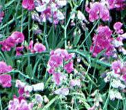 Hrachor vonný (Lathyrus odoratus)