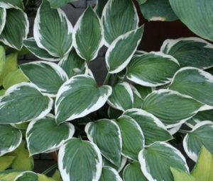 Bohyška - rostlina do stínu