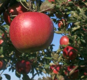 Nejlepší odrůdy jabloní