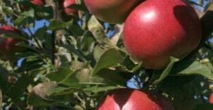 Rekonstrukce starých ovocných výsadeb