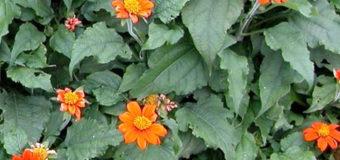 Titónie okrouhlolistá (Tithonia rotundifolia)