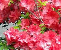 Jak pěstovat azalku v květináči