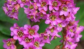 Badan tučnolistý (Bergenie cordifolia)