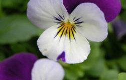 Pěstování macešky zahradní (Viola x witrockiana)