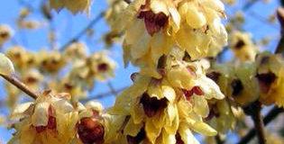 Zimokvět časný (Chimonanthus praecox)