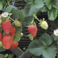 Jak na pěstování jahod