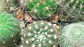 Hnojení kaktusů