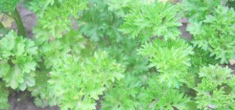 Čerstvé jarní bylinky proti únavě
