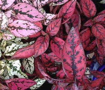 Hypoestes fyllostachia je drobná pokojová rostlina