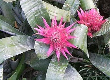Broméliovité rostliny
