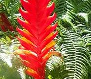 Vrísea (Vriesea) – broméliovitá rostlina