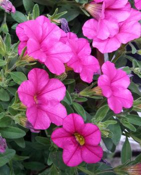 Minipetunie - pěstování v nádobách