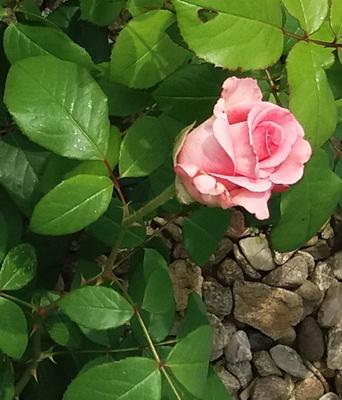 Druhy růží