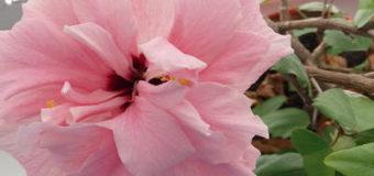 Hibiscus rosa – sinensis – ibišek