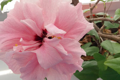 Ibišek - pokojová rostlina