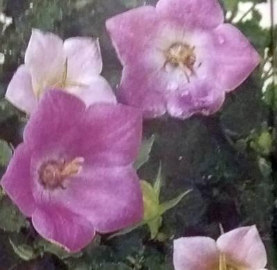 Campanula carpatica – zvonek jako pokojová květina